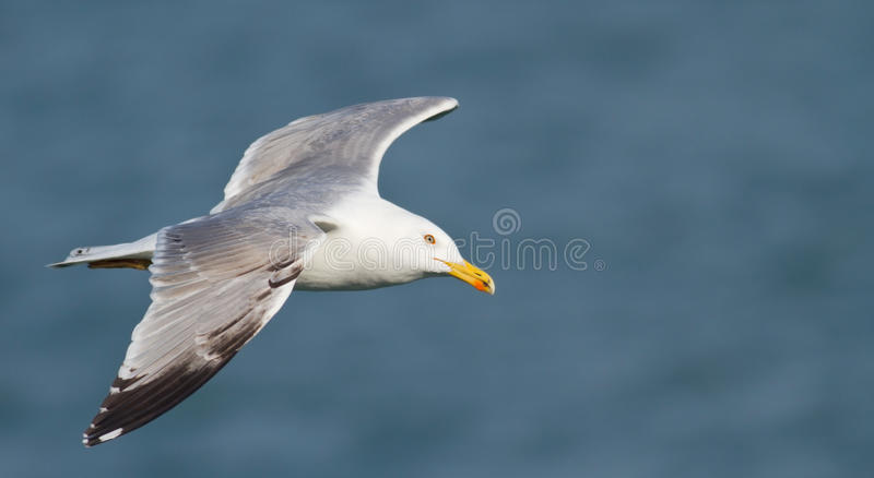 Download Larus michahellis stock image. Image of ocean, beautiful - 22044833