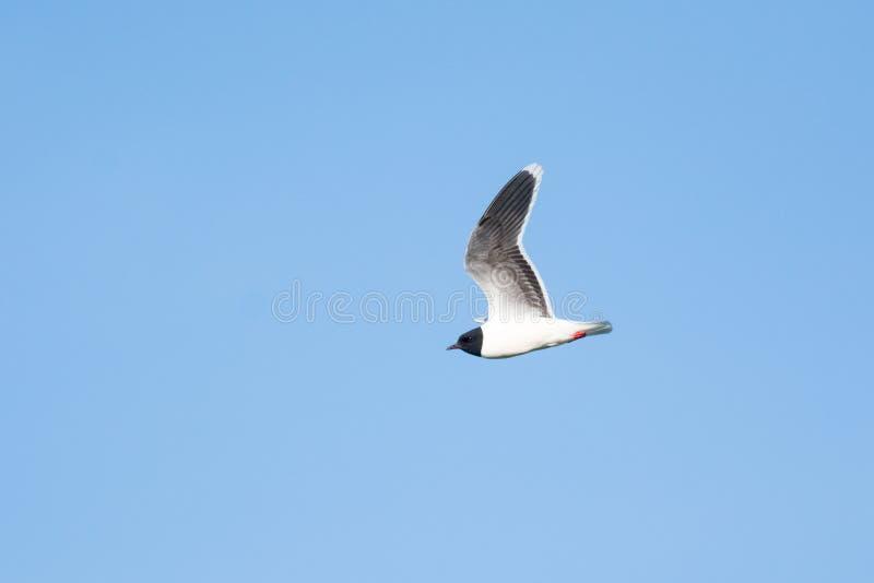 Larus minutus. Or Hydrocoloeus minutus or Little gull flying in Estonia royalty free stock photos