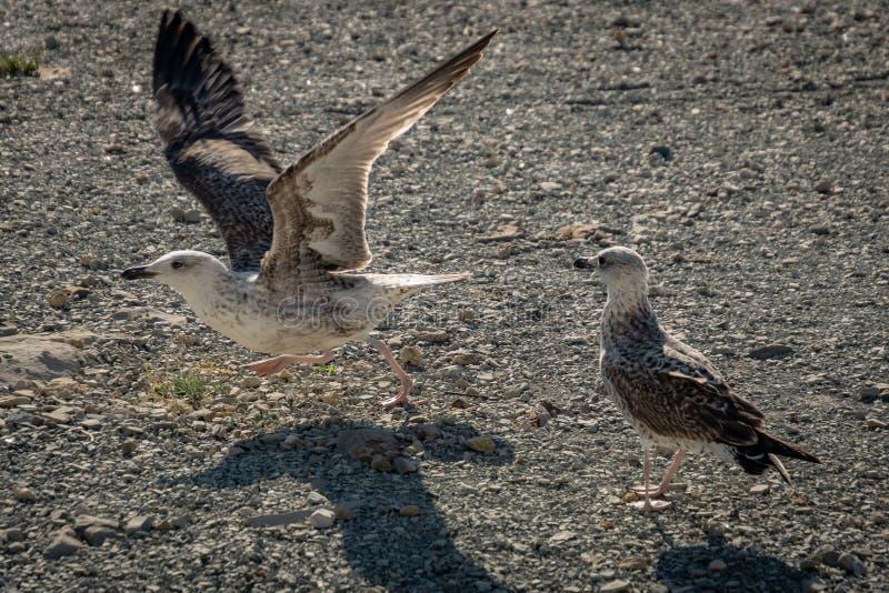 Larus novo Marinus de duas gaivotas em um Pebble Beach imagem de stock