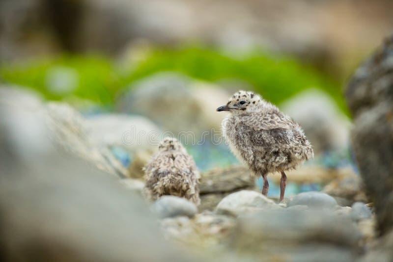 Laruscanus Het wild van Noorwegen Mooi beeld Van het Leven van Vogels Vrije Aard Rundeeiland in Noorwegen Skandinavische wildl stock afbeelding