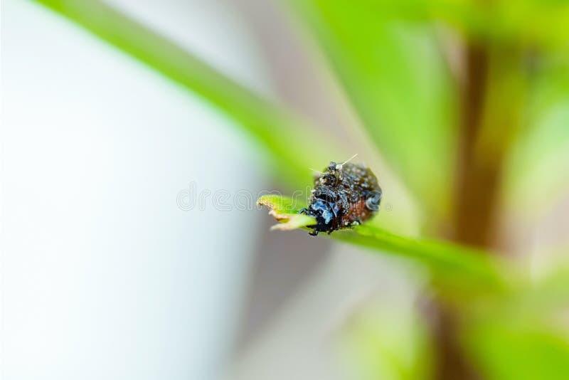 Larv av den scharlakansröda liljaskalbaggen royaltyfri fotografi