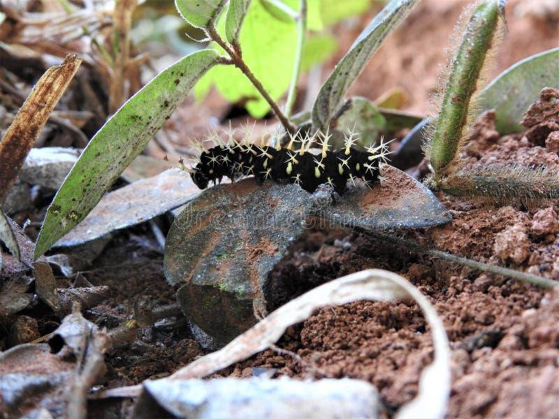 Larv Costa Rica för siden- mal royaltyfri fotografi