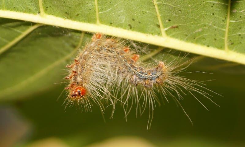 Larv för larv för Lymantria för zigensk mal en dispar royaltyfria foton