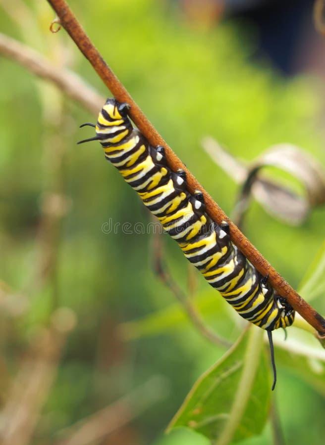 Larv för monarkfjäril som vilar på en växtstjälk arkivfoto