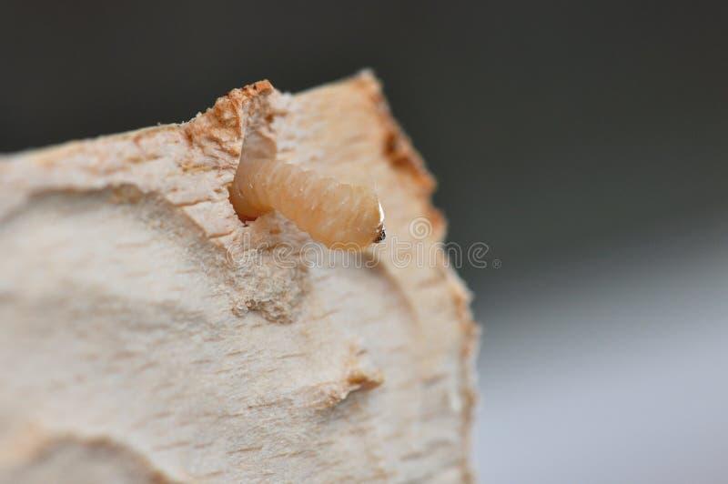 Larv i trädträ arkivfoton