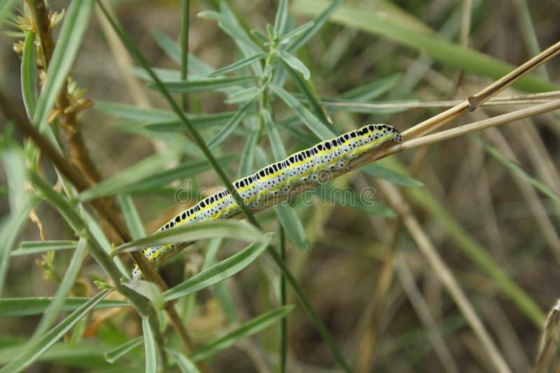 larv på sugrör arkivbild