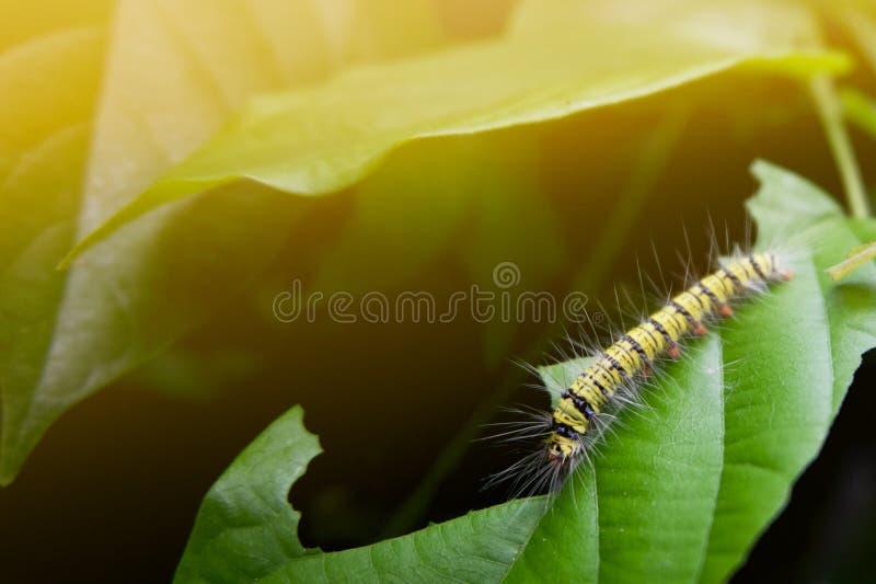 larv som äter det gröna bladet i morgonen arkivbilder