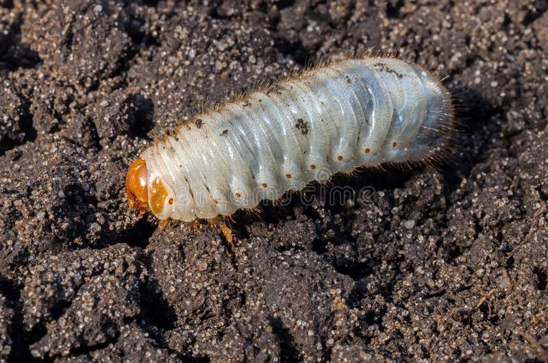 Larva bianca del rinforzo contro lo sfondo del suolo Larva del maggiolino Parassita agricolo fotografie stock libere da diritti