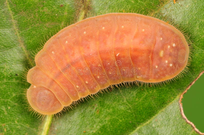 Larva of butterfly, Lycaenidae. Larva of butterfly, pink, on leaf stock photos