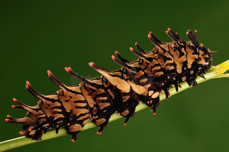 Larva of butterfly/Troides aeacus/brown royalty free stock images
