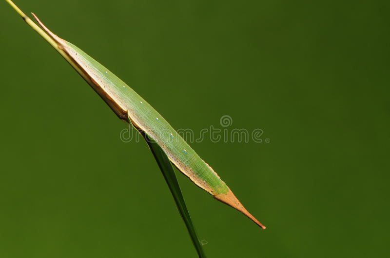 Larva of butterfly on twig/ act like a leaf/ Penthema adelma stock photography