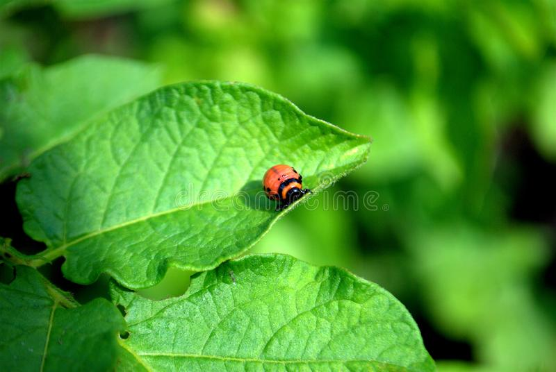 The larva of the Colorado potato beetle sits on a green branch of a potato. Frame made on the plot on the Nikon D3000 stock image