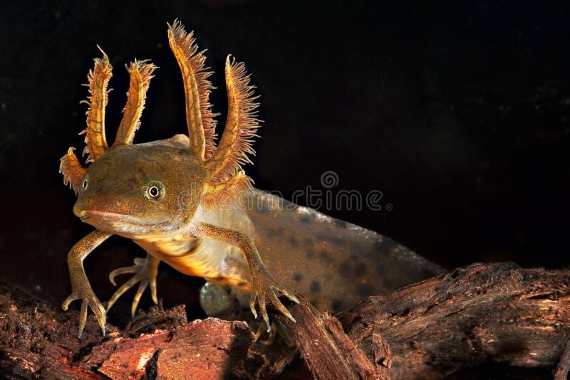 Larva crestata del newt immagini stock libere da diritti