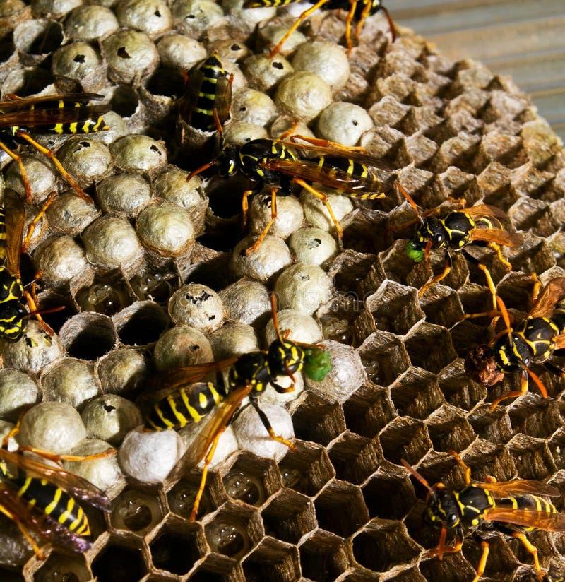 Larva da alimentação das vespas no vespiary imagens de stock royalty free