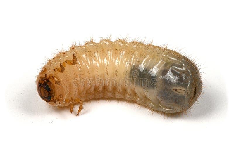 A larva da pode besouro fotografia de stock