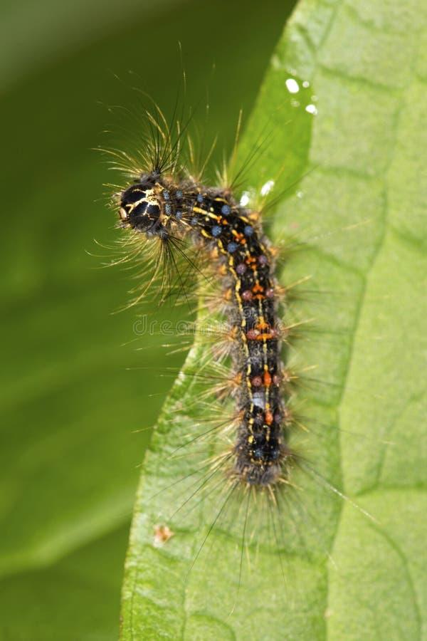 A larva da traça aciganada em uma folha no vale cai parque, Connecticut fotografia de stock