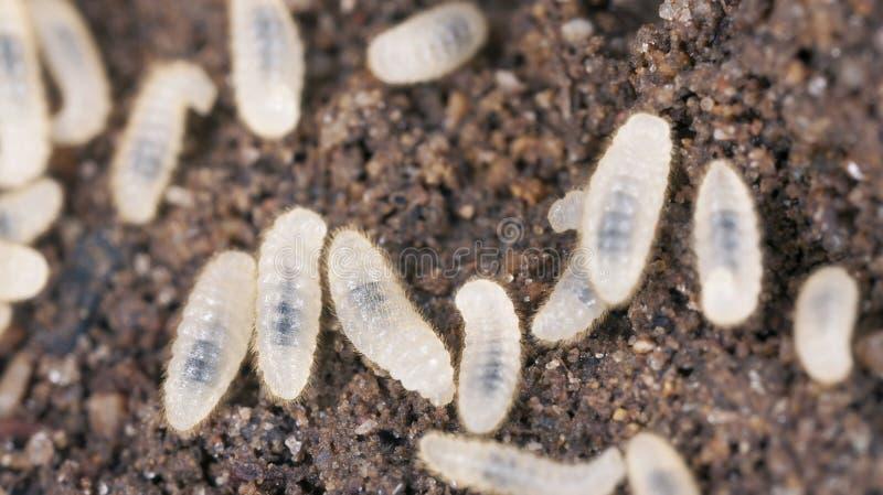 Larva de la hormiga, ascendente cercano del extremo foto de archivo libre de regalías