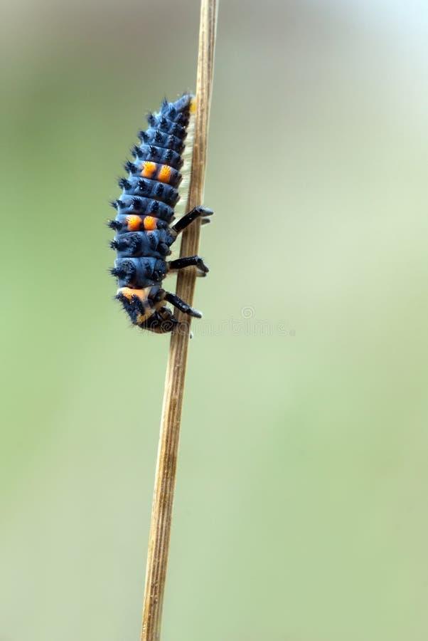 Larva de la mariquita fotos de archivo