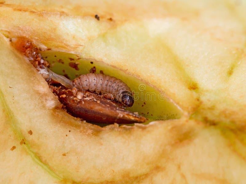 Larva de la polilla de bacalaos pequeños, comida del pomonella de Cydia, larva Caterpillar que come feliz en mi manzana Macro de  imagenes de archivo