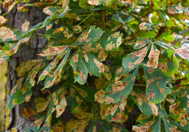 Larva de los gracillariidae de la enfermedad vegetal de la hoja del árbol de castaña de caballo imagen de archivo libre de regalías