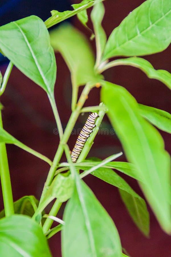 Larva del danaus plexippus della farfalla di monarca, Costa Ri fotografia stock