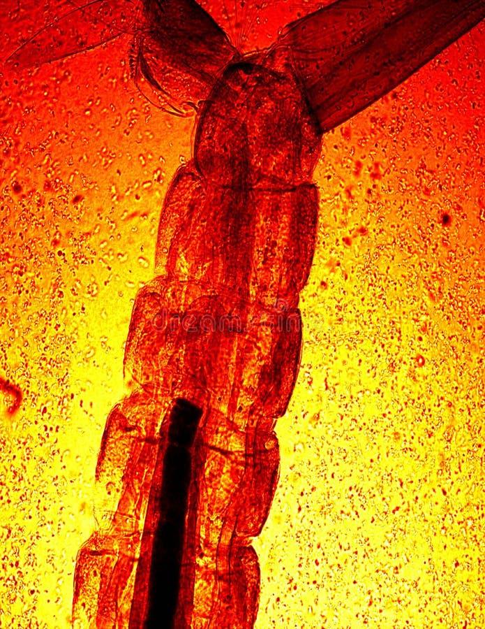 Larva del mosquito bajo microscopia imagen de archivo
