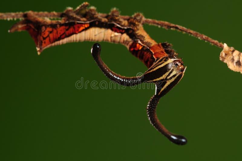 Larva del nesimachus /butterfly di Dichorragia fotografia stock libera da diritti