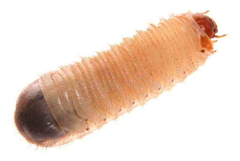 Larva del rizotrogo fotografia stock libera da diritti