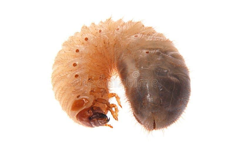 Larva del rizotrogo fotografie stock libere da diritti