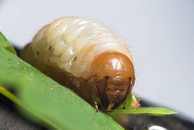 Larva del rizotrogo - larve di bianco fotografia stock
