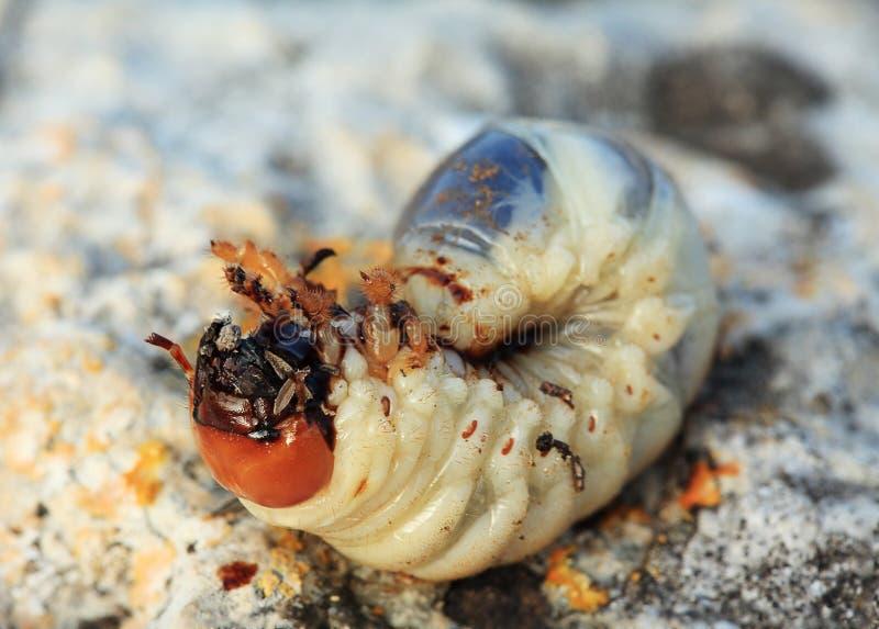 Larva del rizotrogo (Melolontha) immagini stock libere da diritti