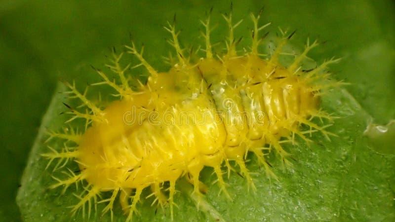 Larva del vigintioctopunctata de Henosepilachna foto de archivo