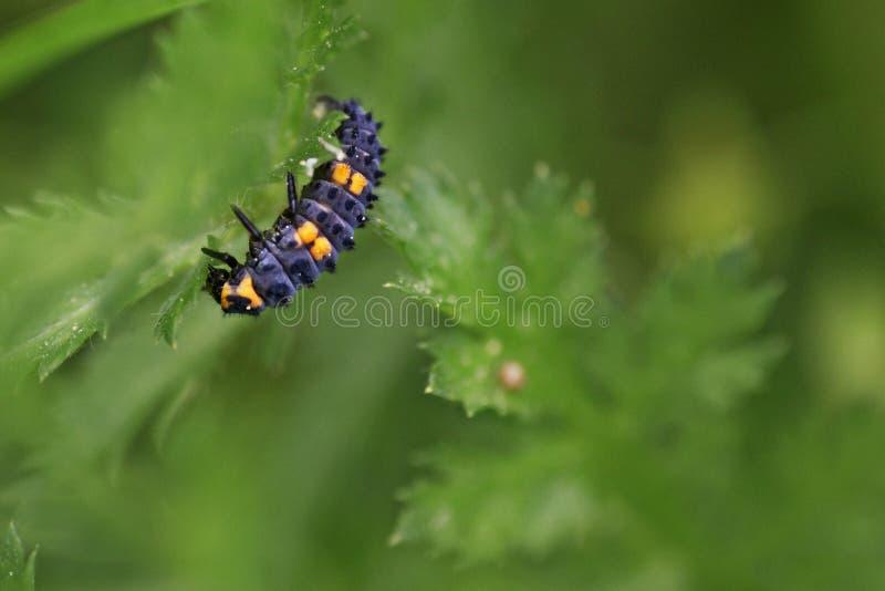 Larva della coccinella fotografia stock