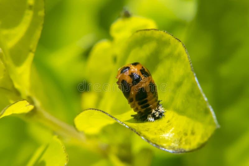 Larva della coccinella sulla foglia fotografia stock