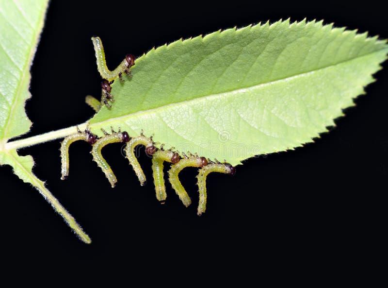 Larva della tentredine della Rosa - parassita del giardino fotografia stock