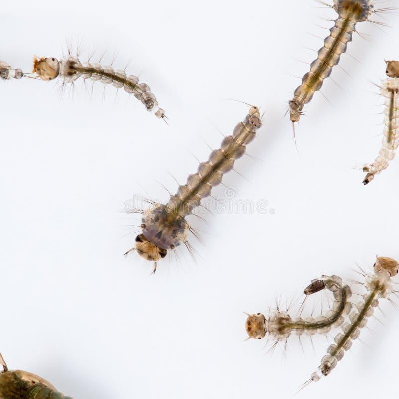 Larva della zanzara immagine stock libera da diritti