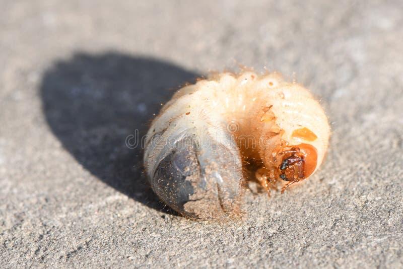 Larva di un maggiolino fotografie stock libere da diritti