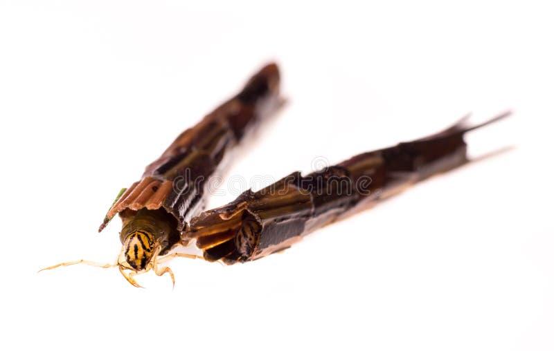 Larva do Caddisfly com pés de espalhamento do caso foto de stock royalty free