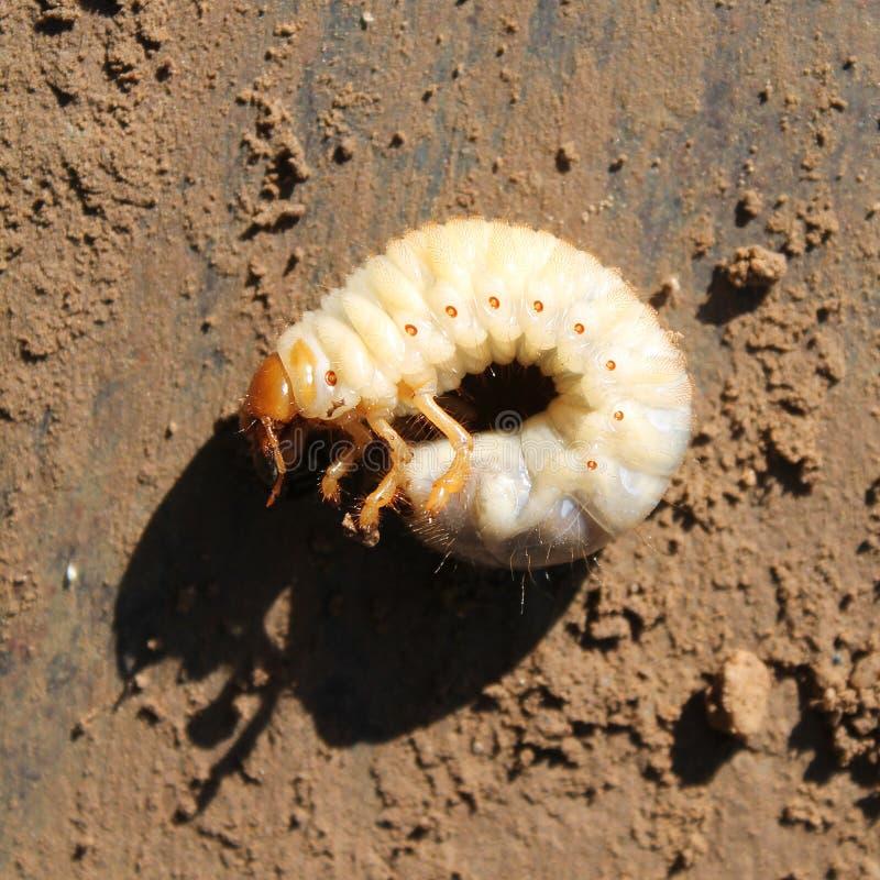 Larva do erro do besouro europeu ou do maio fotos de stock