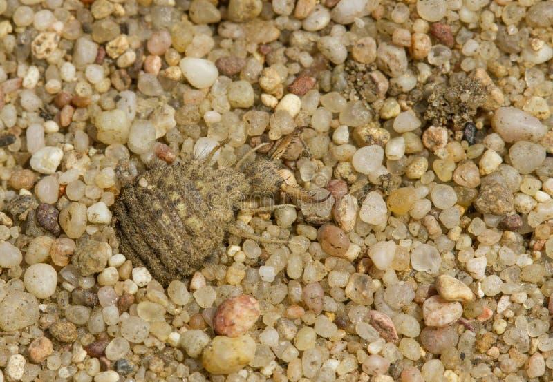 Larva do formicarius do Myrmeleon do Antlion em República Checa foto de stock royalty free