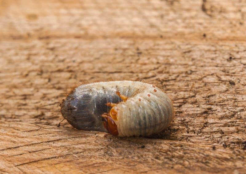 Larva do Melolontha fotografia de stock