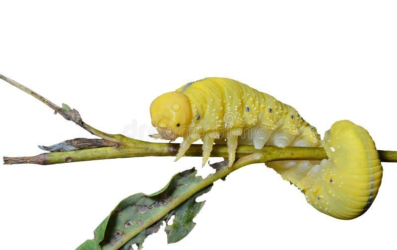 Larva do vespão 7 imagem de stock royalty free