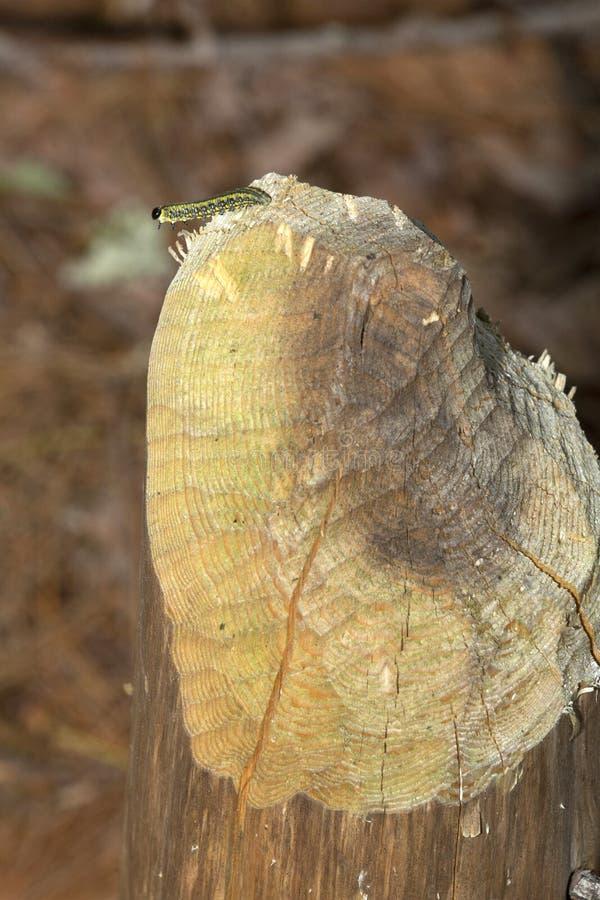 Larva do vespão no coto do castor em Sunapee, New Hampshire imagem de stock royalty free