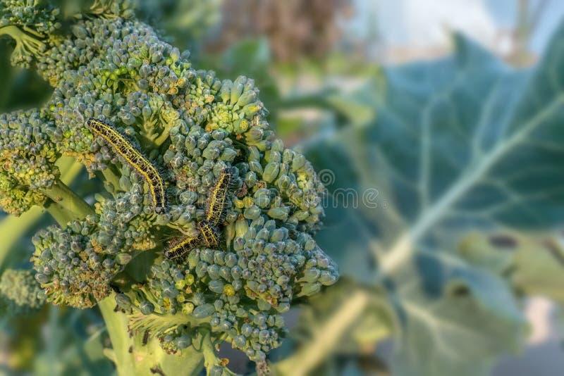 A larva dos brassicae do Pieris é uma lagarta de uma grande borboleta de couve branca em uma planta da couve dos brócolis fotos de stock royalty free