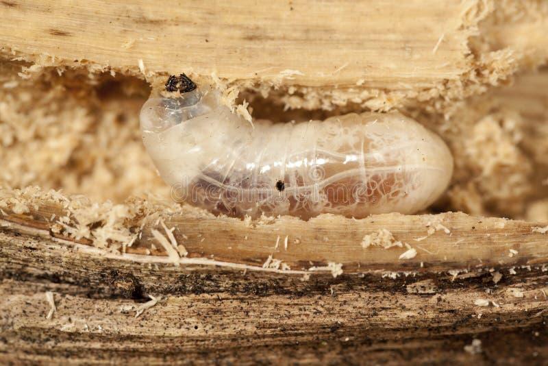Larva grande fotografia de stock