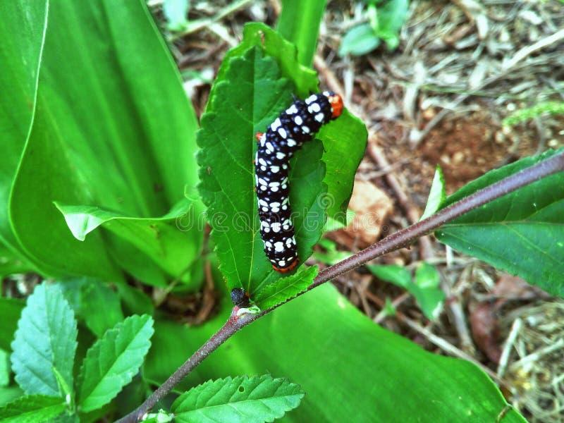 Larva, Leaf, Caterpillar, Insect stock image