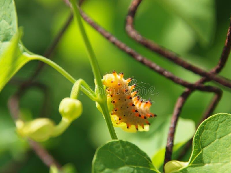 Larva lepidóptera imagens de stock