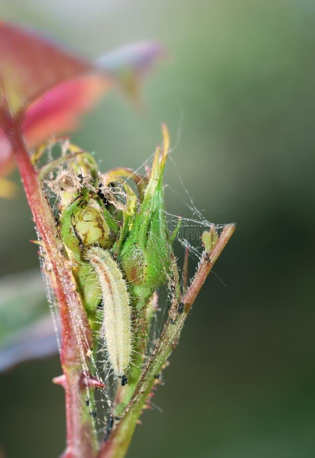 Larva no botão cor-de-rosa fotografia de stock
