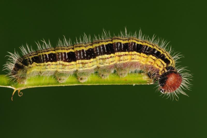 Larva sul ramoscello: Anura di Hasora fotografie stock
