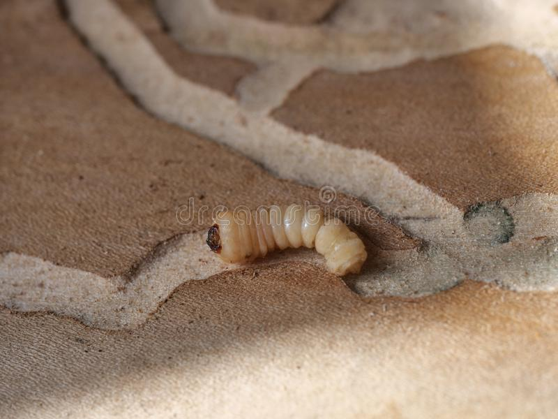 Larva of woodworm. On a wood background royalty free stock photography